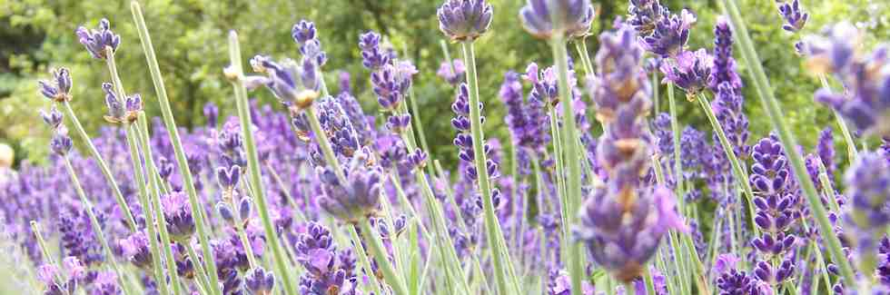 Norfolk Lavendar - summer fragrance with vibrant greens leaves and delicate purple flowers