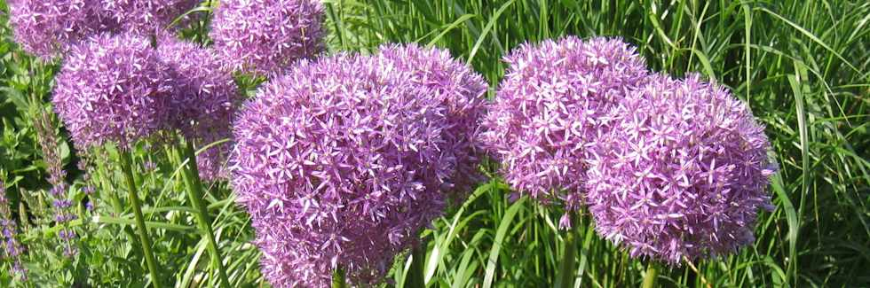 Allium Christophii - bringing instant height and fragrance to any flower bed
