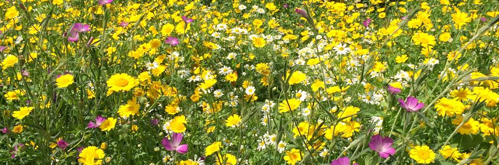 Wildflower Meadow - a bloom of colour and fragrance