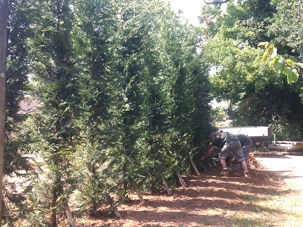 Case Study - Instant Conifer Hedge in Watton