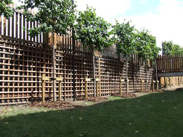 Case Study - Pleached Lime Trees